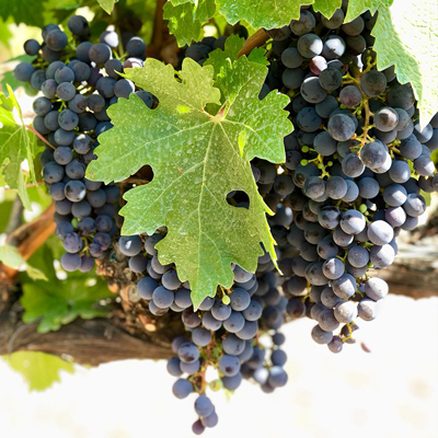 Enoturismo Mas de Sella uvas negras